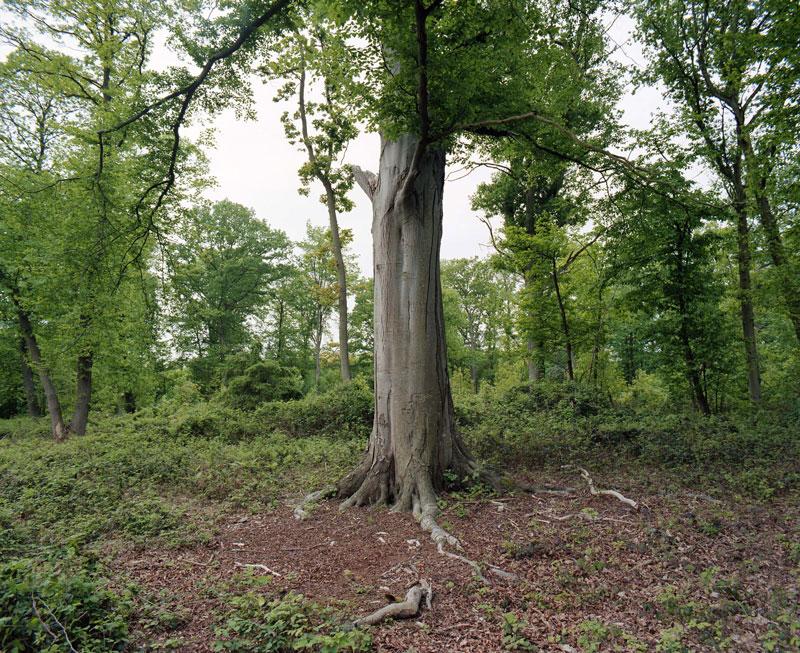 Daniel Quesney, Hêtre de la Forêt de Bord-Louviers, 2003